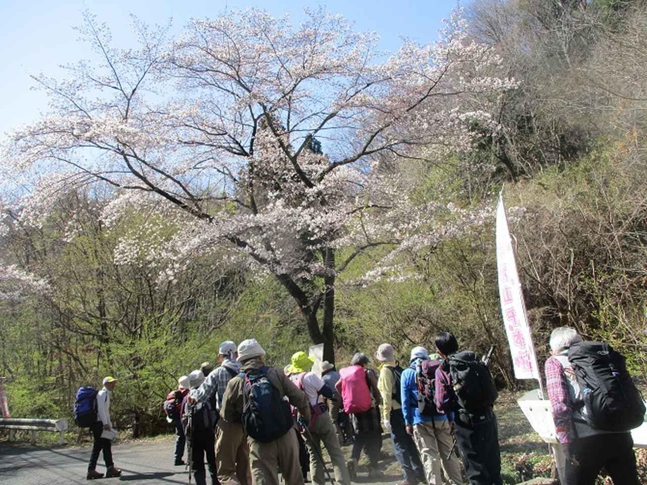 画像3: 4月5日に岡田ガイドのコースで群馬県の桜で有名な 「牛伏山」 へ行ってきました♪