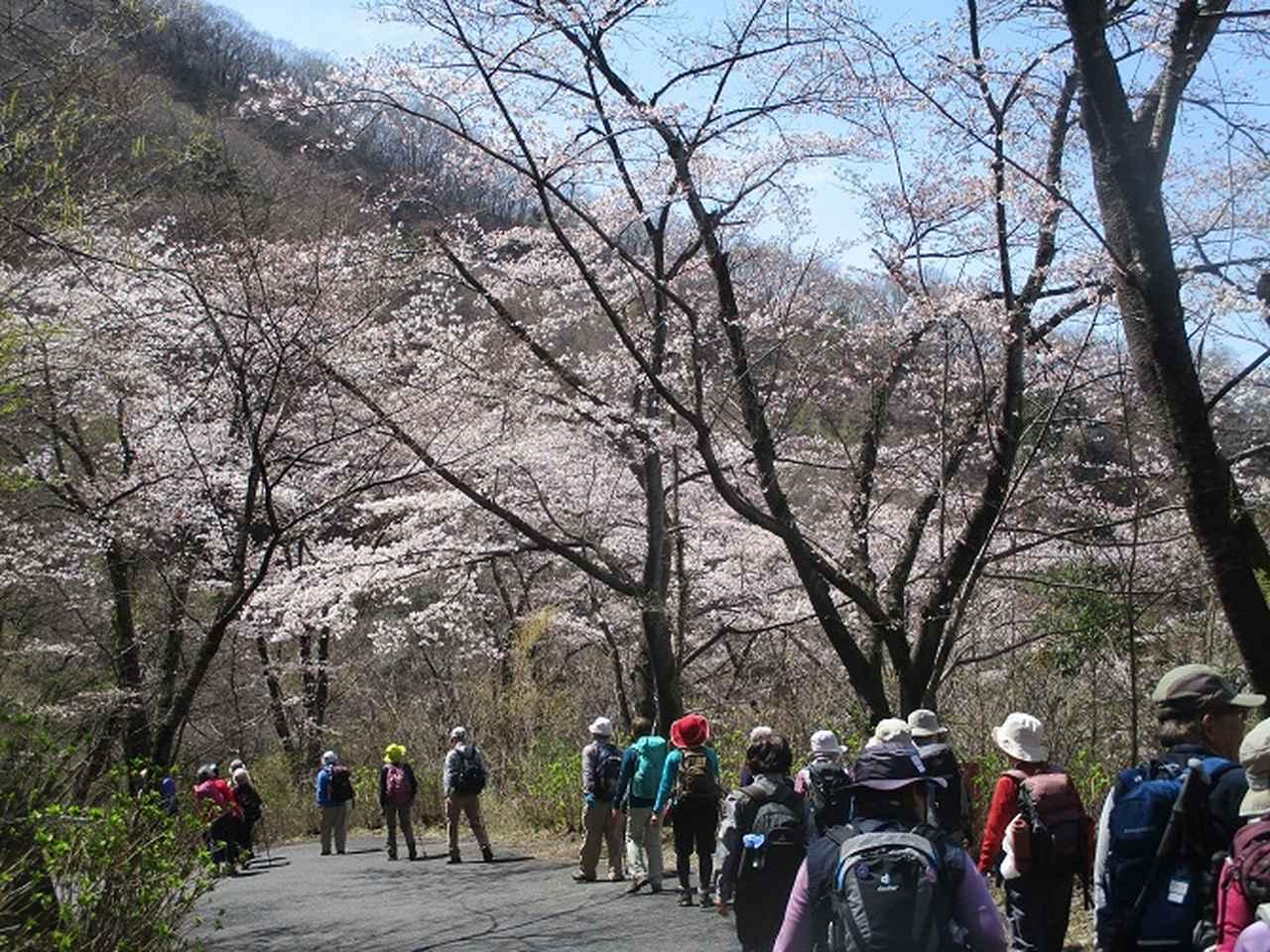 画像11: 4月5日に岡田ガイドのコースで群馬県の桜で有名な 「牛伏山」 へ行ってきました♪