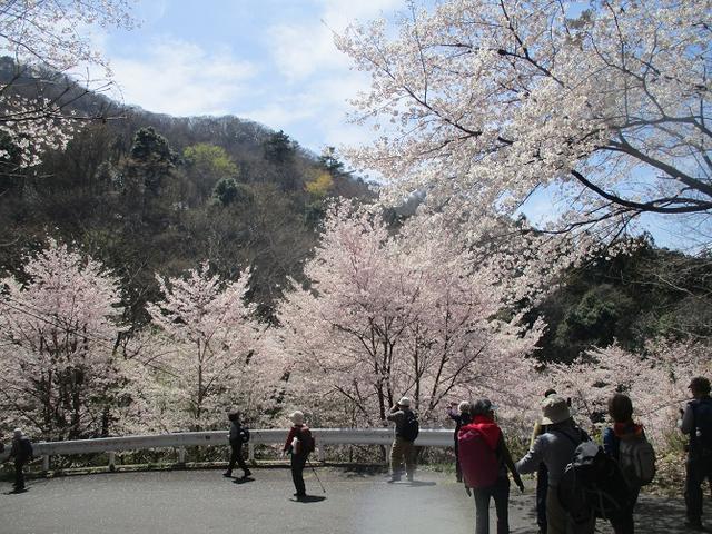 画像13: 4月5日に岡田ガイドのコースで群馬県の桜で有名な 「牛伏山」 へ行ってきました♪