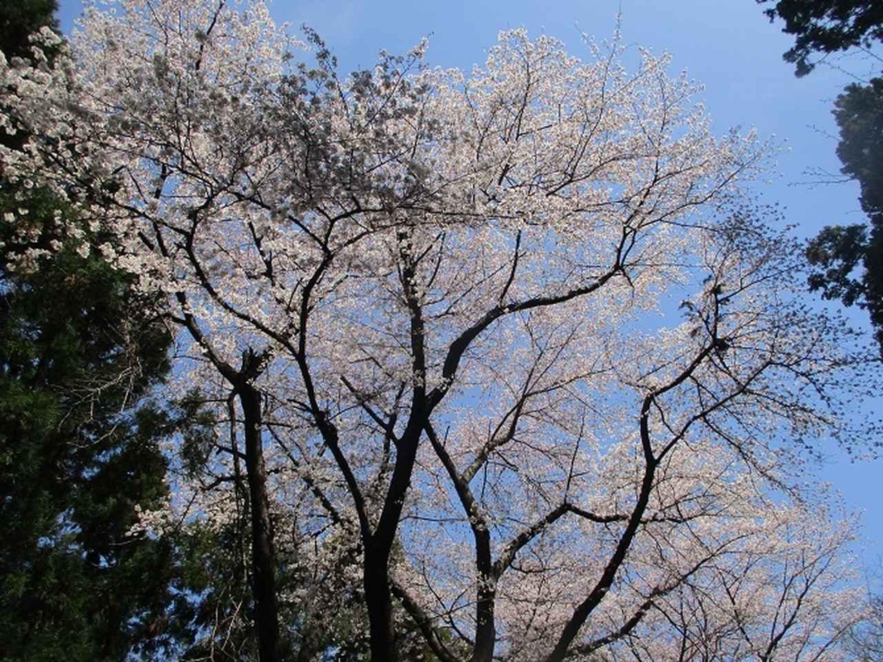 画像12: 4月5日に岡田ガイドのコースで群馬県の桜で有名な 「牛伏山」 へ行ってきました♪