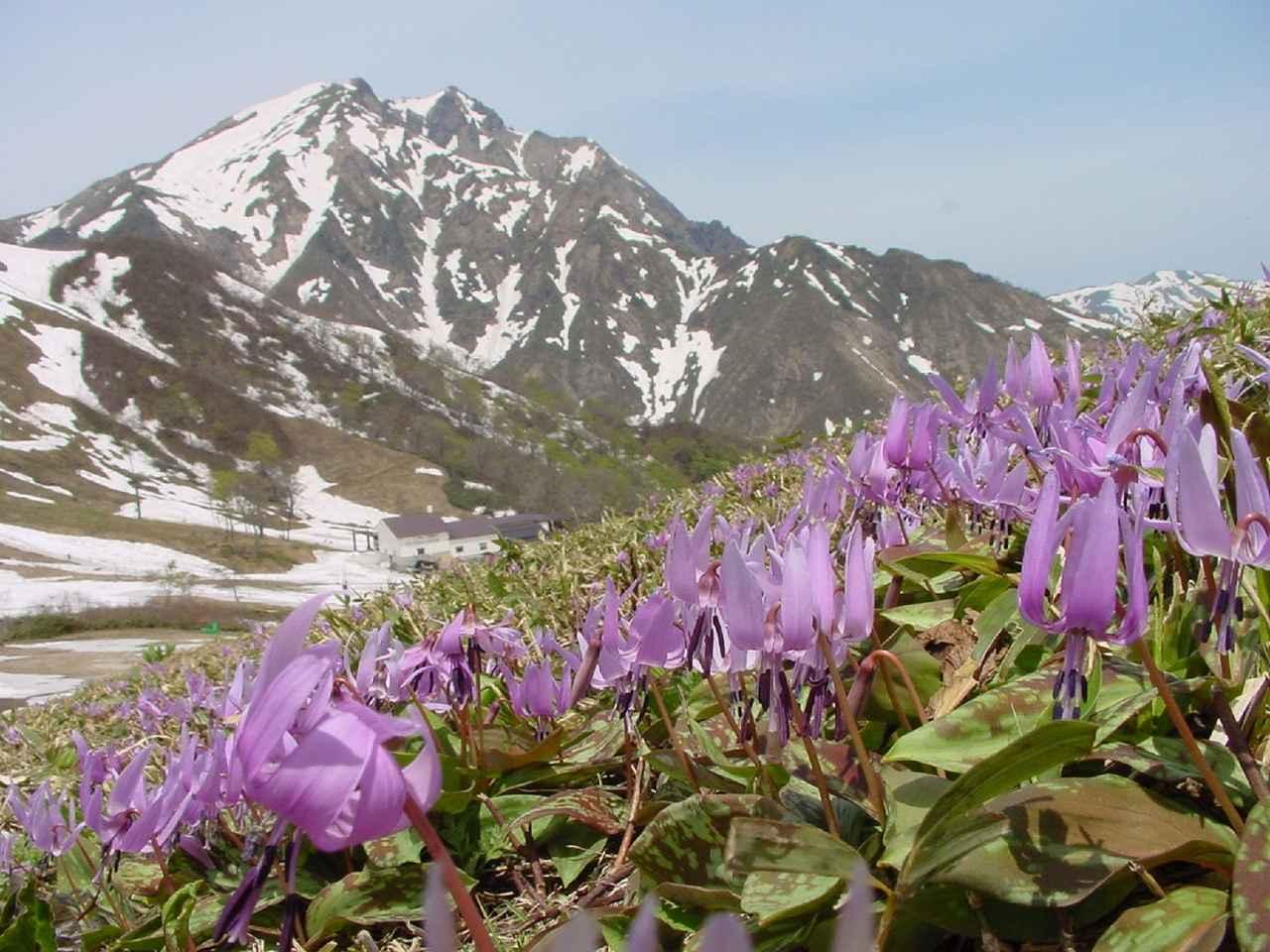 画像: 谷川岳とカタクリ(イメージ)