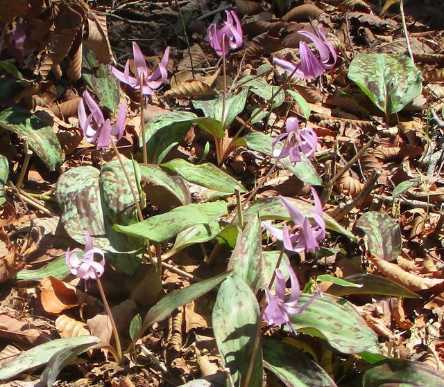 画像12: 4月15日に山旅会 「八溝山」 ツアーに行ってきました!