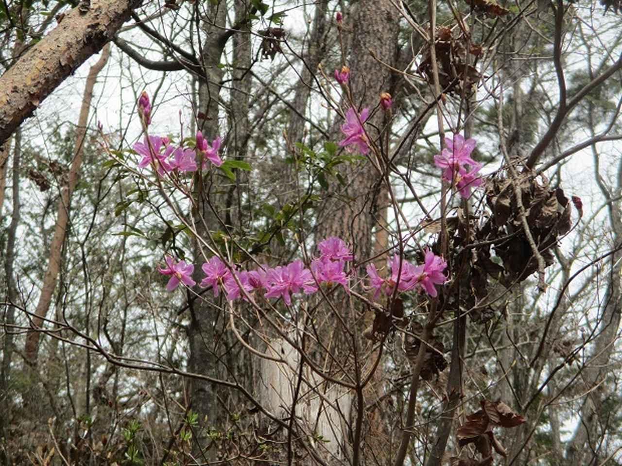 画像6: 4月17日に山旅会 百蔵(ももくら)山 のツアーに行ってきました!