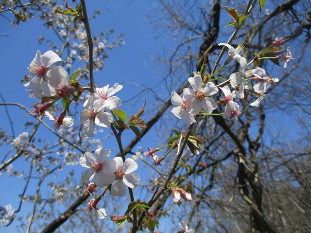 画像8: 4月15日に岡田ガイドとカタクリ咲く 六万騎山 へ行って来ました♪