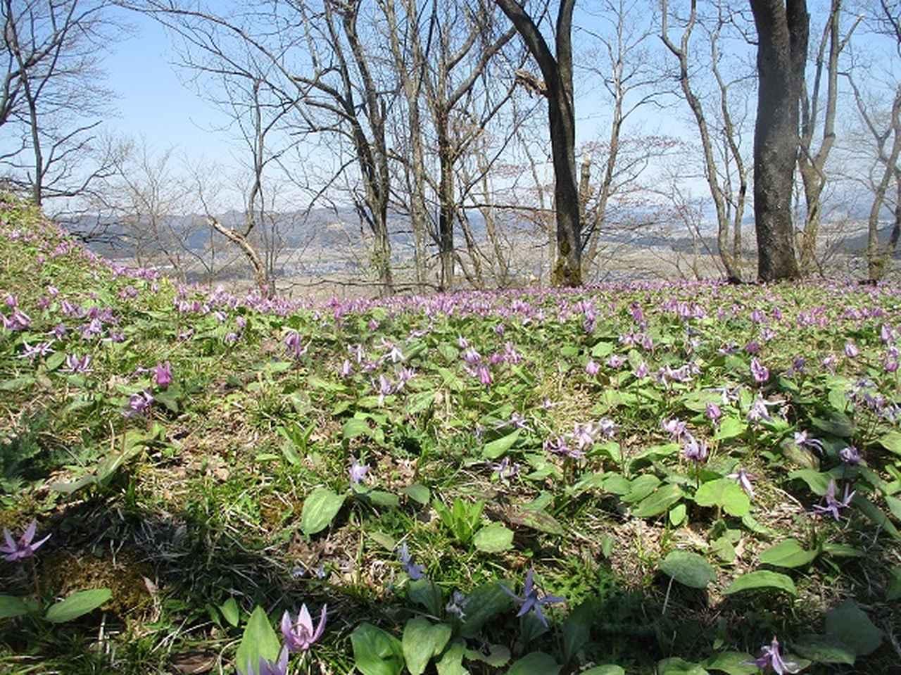 画像10: 4月15日に岡田ガイドとカタクリ咲く 六万騎山 へ行って来ました♪