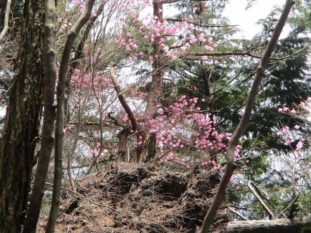 画像5: 4月25日に山旅会 「鳴神山」 ツアーに行ってきました!