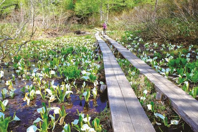 画像: 尾瀬の木道とミズバショウ(イメージ)