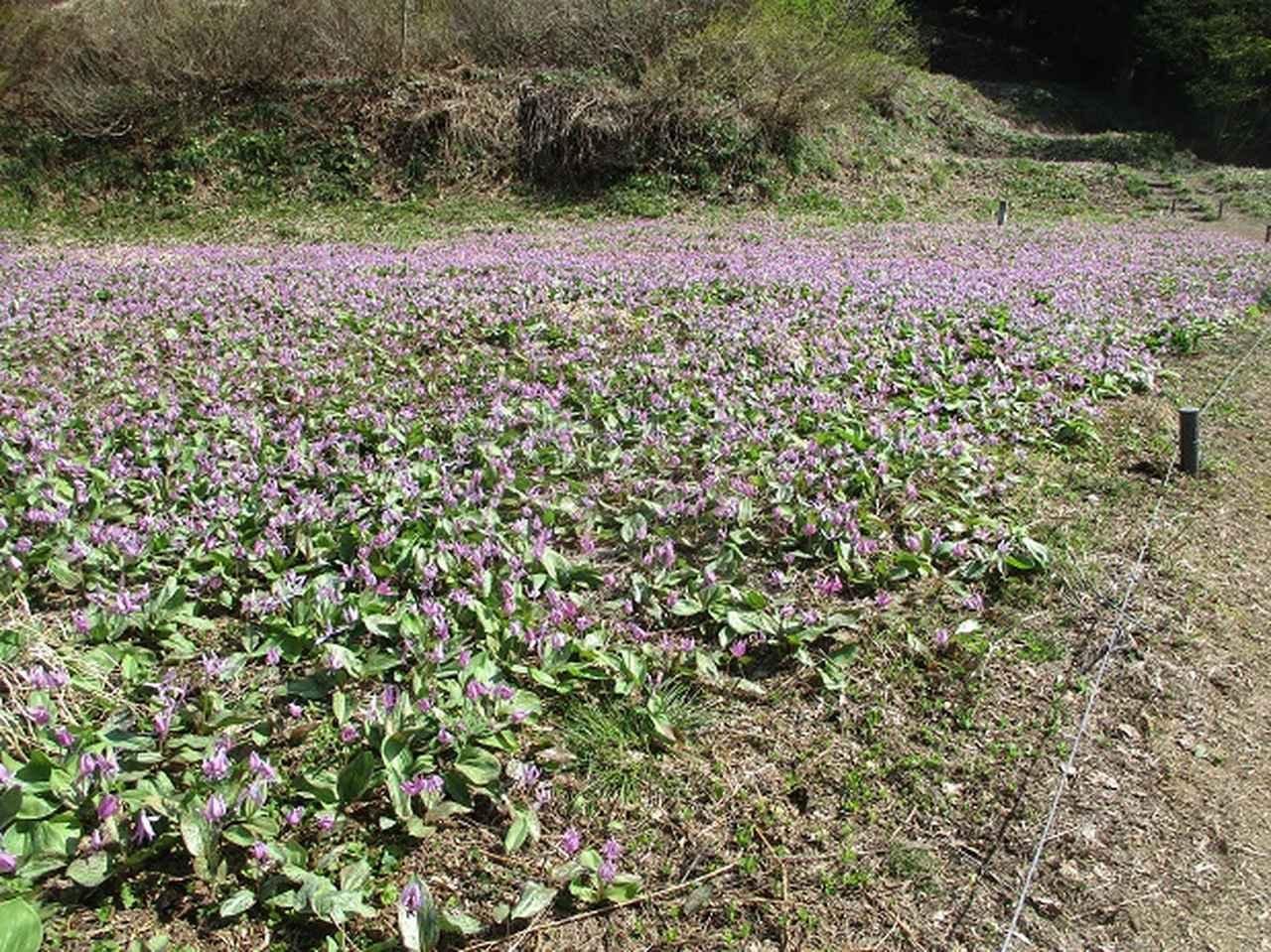 画像5: 5月の山旅会 「坂戸山と八石山」 の直前下見報告です!
