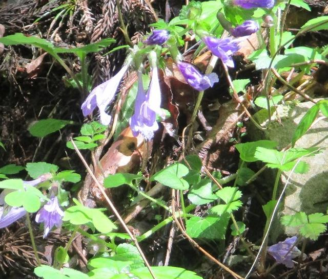 画像3: 5月5日に山旅会 「狐塚峠から八王子城址」 ツアーに行ってきました!