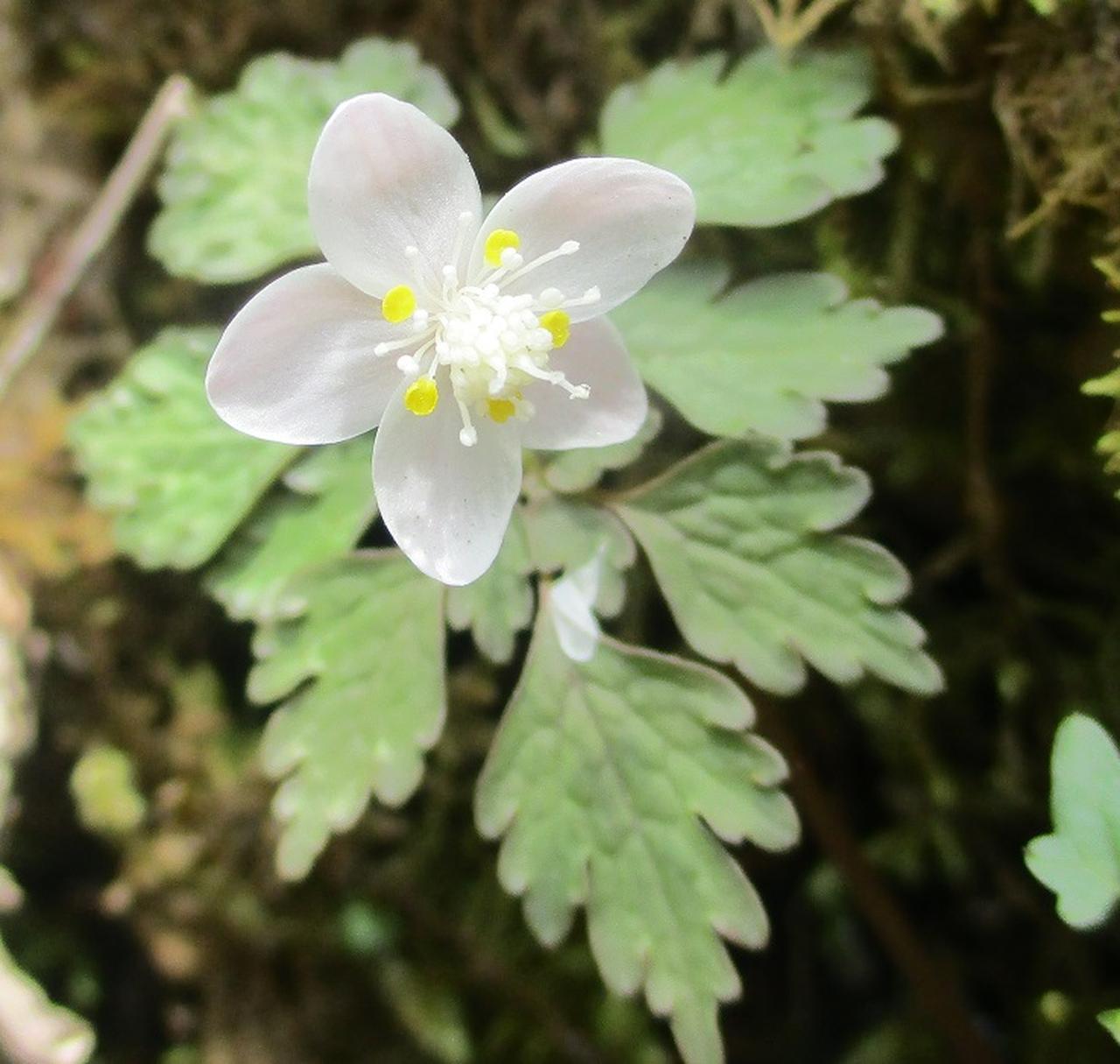 画像8: 5月10日に山旅会 「籠坂峠から三国山」 ツアーにいってきました!