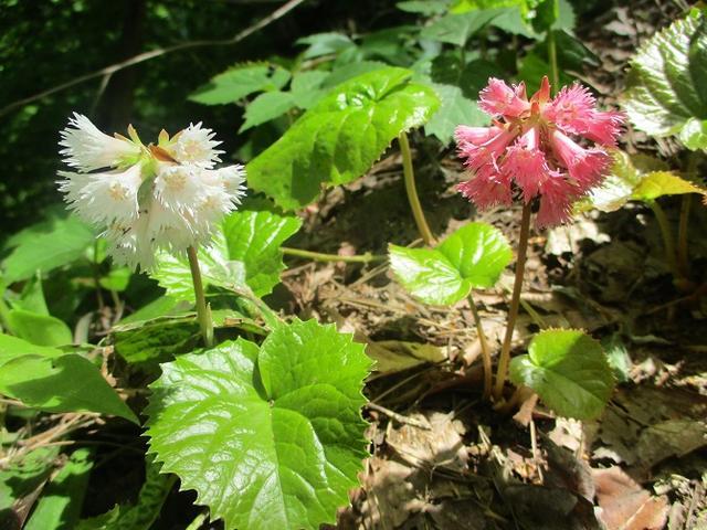 画像15: 5月8日、9日に岡田ガイドのコースで新潟の山へ行って来ました♪