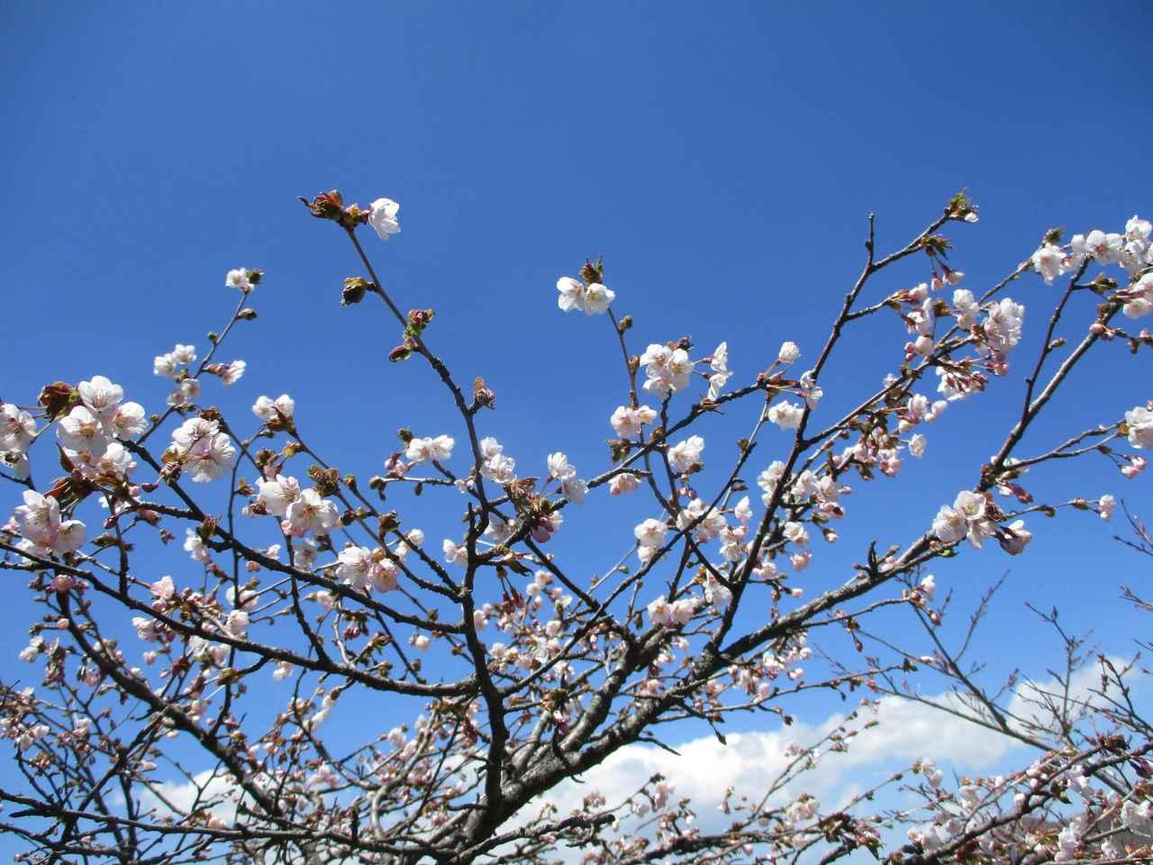 画像13: 5月24日に岡田ガイドのコースで 那須日の出平 のミネザクラに会いに行って来ました♪