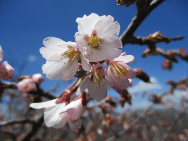 画像12: 5月24日に岡田ガイドのコースで 那須日の出平 のミネザクラに会いに行って来ました♪