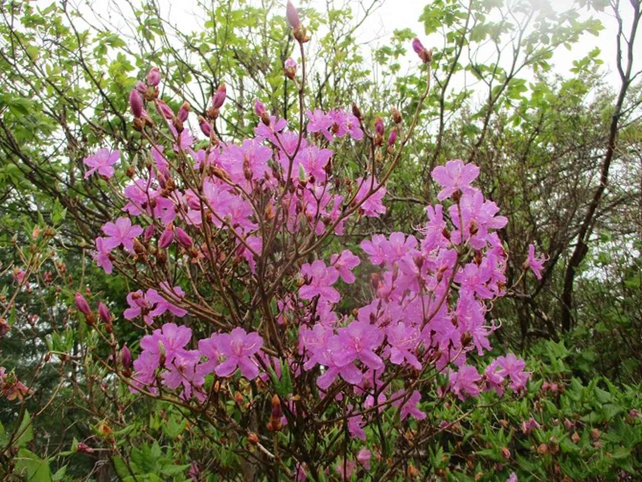 画像7: 岡田ガイドのコースで、山梨県のツツジで有名な 甘利山 へ行ってきました♪