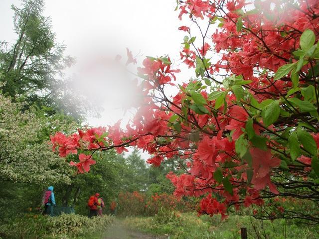 画像8: 岡田ガイドのコースで、山梨県のツツジで有名な 甘利山 へ行ってきました♪