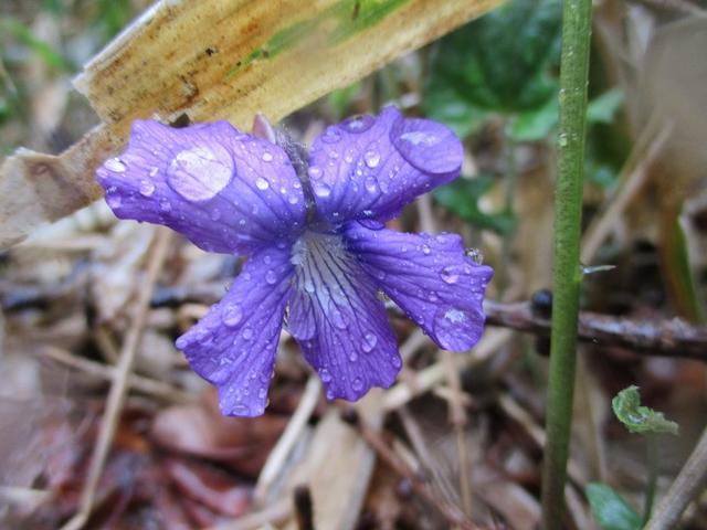 画像15: 岡田ガイドのコースで、山梨県のツツジで有名な 甘利山 へ行ってきました♪