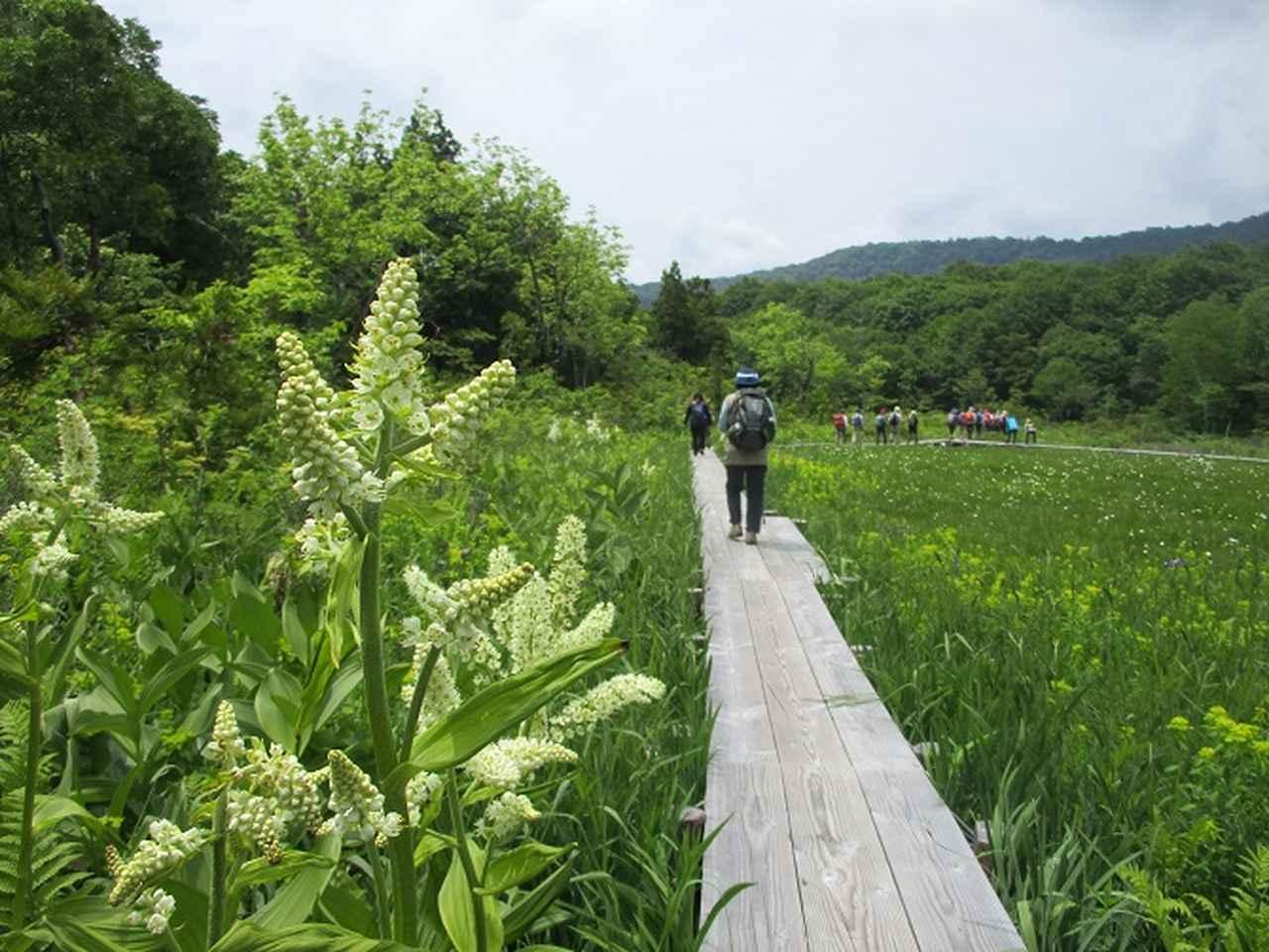 画像4: 岡田ガイドのハイキングコースで 「玉原湿原」 へ行ってきました♪