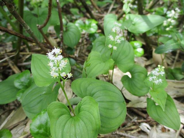 画像5: 7月9日から11日で岡田ガイドと東北の花の名山をめぐるに行ってきました!