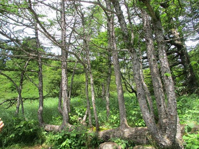 画像4: 8月7日に岡田ガイドのハイキングコースで池の平湿原へいってきました♪