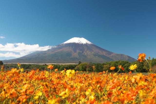 画像: 初冠雪した富士山とキバナコスモス
