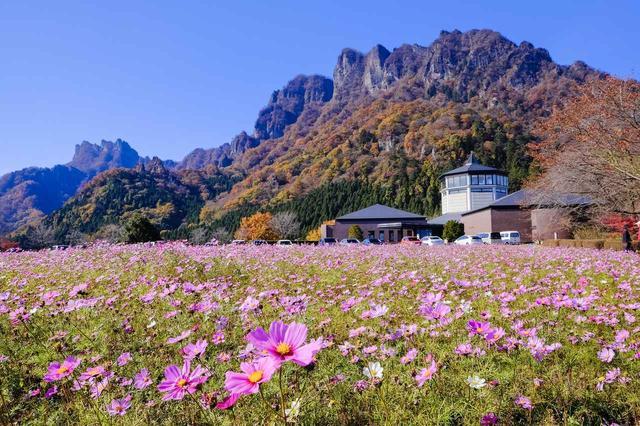 画像: 11月は可憐なコスモスと紅葉のコントラストを楽しむ妙義山を望みます