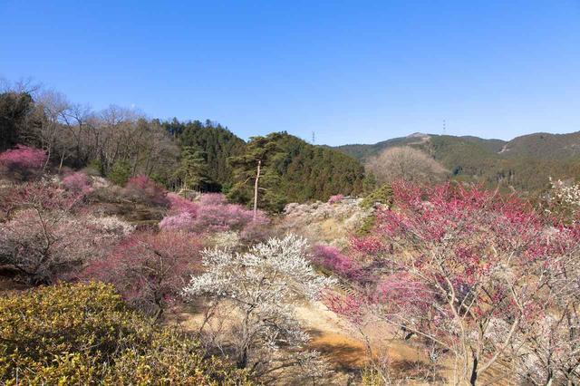 画像: 約4,000本以上の梅が再植樹された青梅市梅の公園(2020年3月)