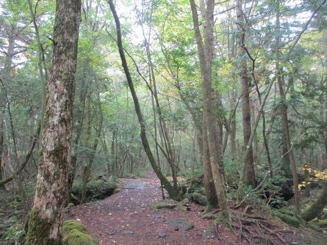 画像3: 11月の山旅会 青木ヶ原樹海と三湖台 ツアーの下見に行ってきました!