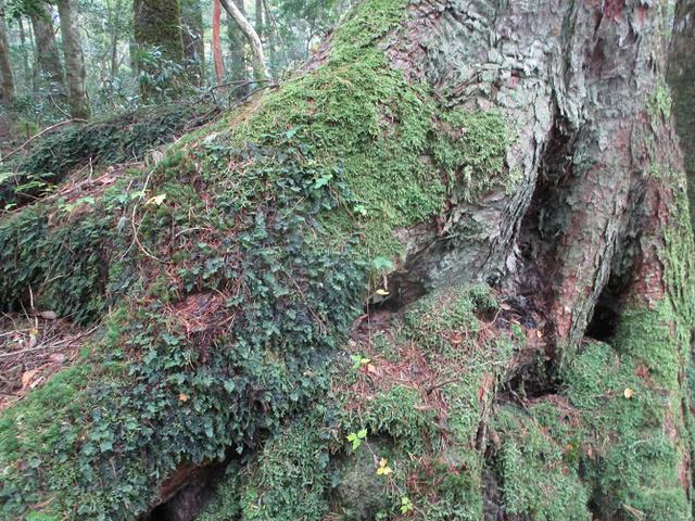 画像4: 11月の山旅会 青木ヶ原樹海と三湖台 ツアーの下見に行ってきました!