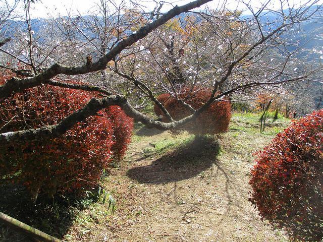 画像8: 12月の山旅会 「鬼石桜山」 ツアーの下見にいってきました!