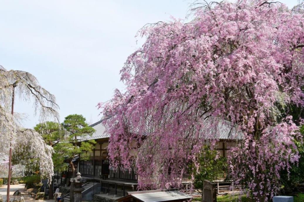 画像: <ウォーキング>『【3月27日(金)1日限定企画】清雲寺の枝垂れ桜と秩父フラワーハイキング 日帰り』|クラブツーリズム