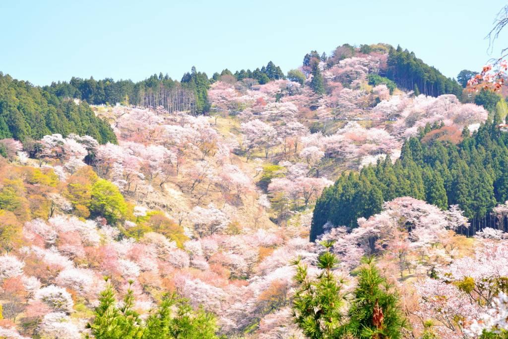 画像: 桜の咲く春の吉野山