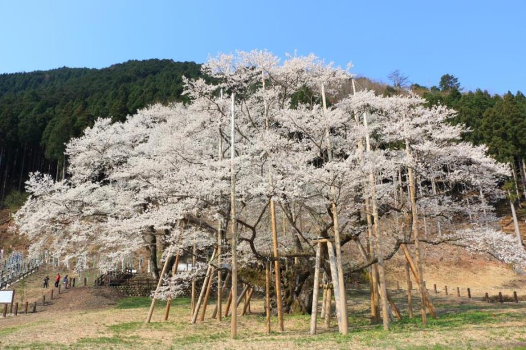 画像: 春の桜を楽しむフラワーハイキング|クラブツーリズム