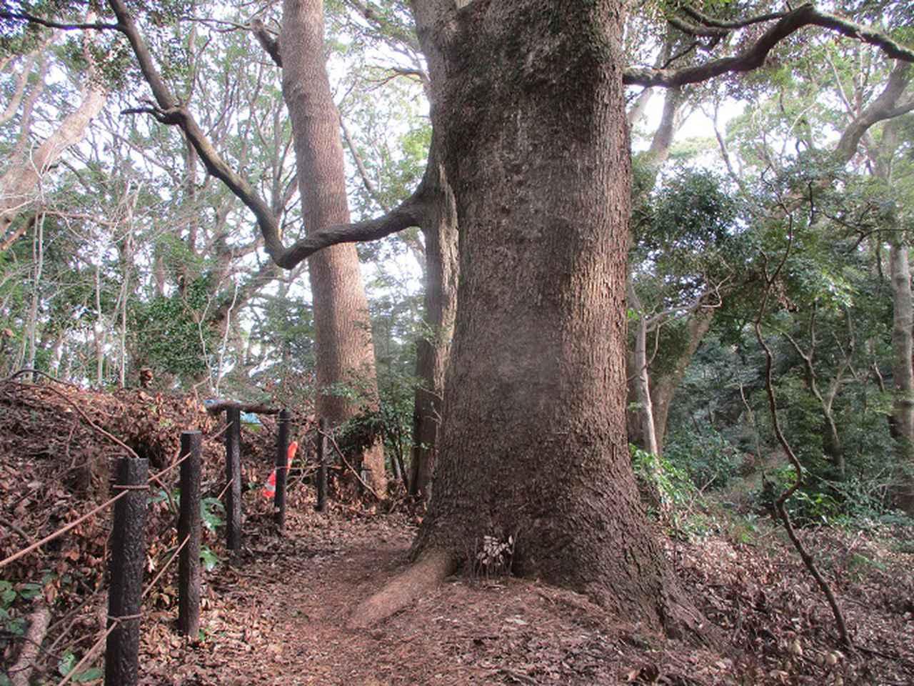 画像7: 2月の山旅会 真鶴半島ハイクと湯河原梅林 の下見に行ってきました!