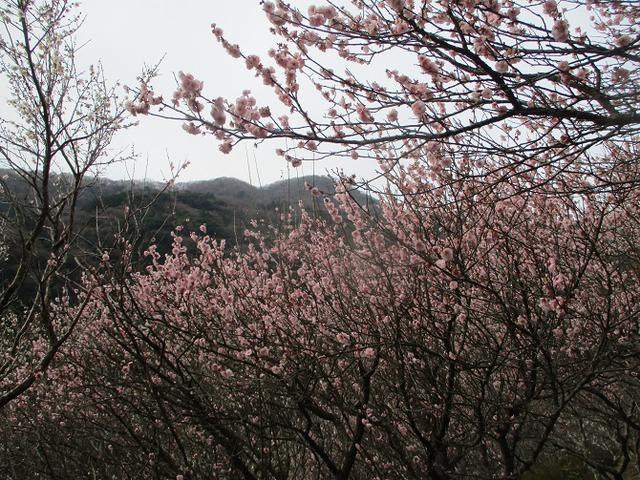 画像12: 2月の山旅会 真鶴半島ハイクと湯河原梅林 の下見に行ってきました!