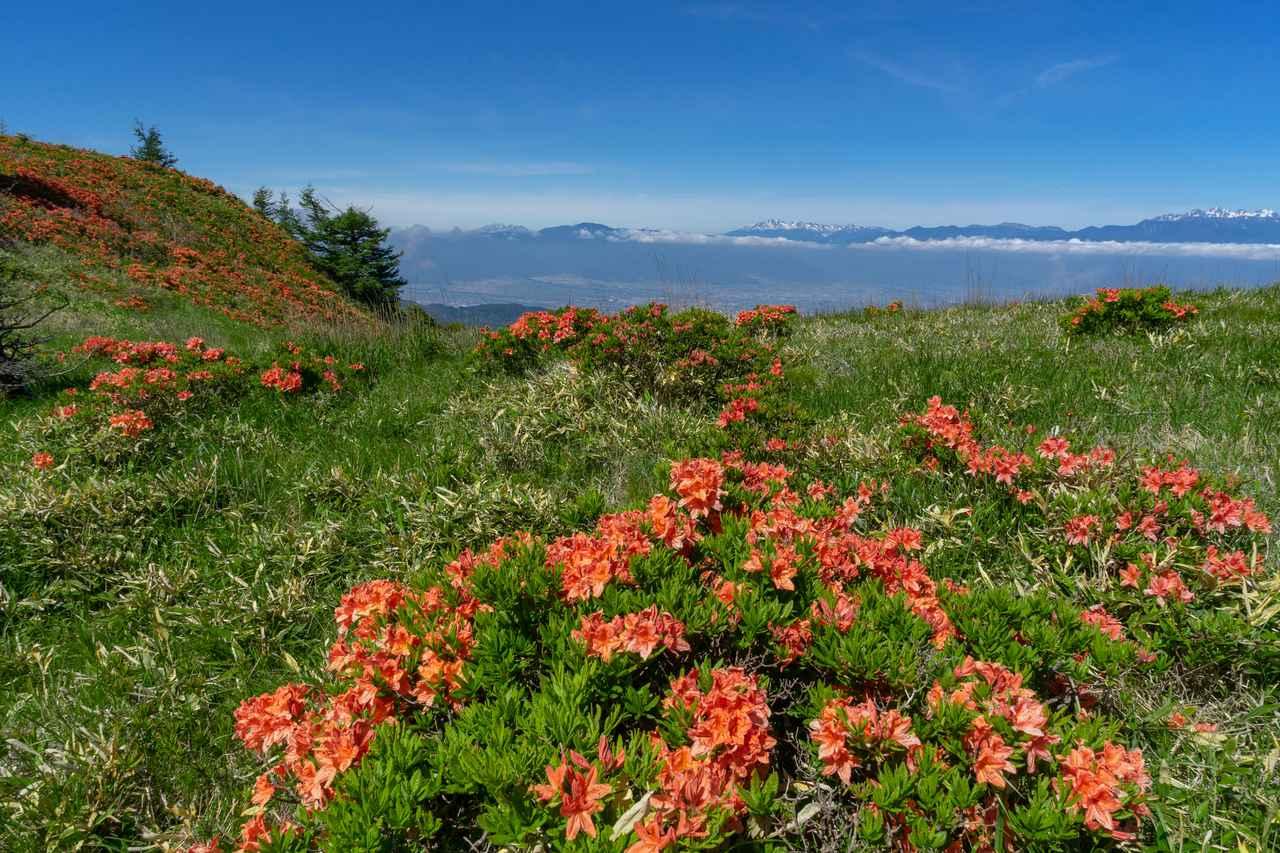 画像: レンゲツツジ咲く美ヶ原