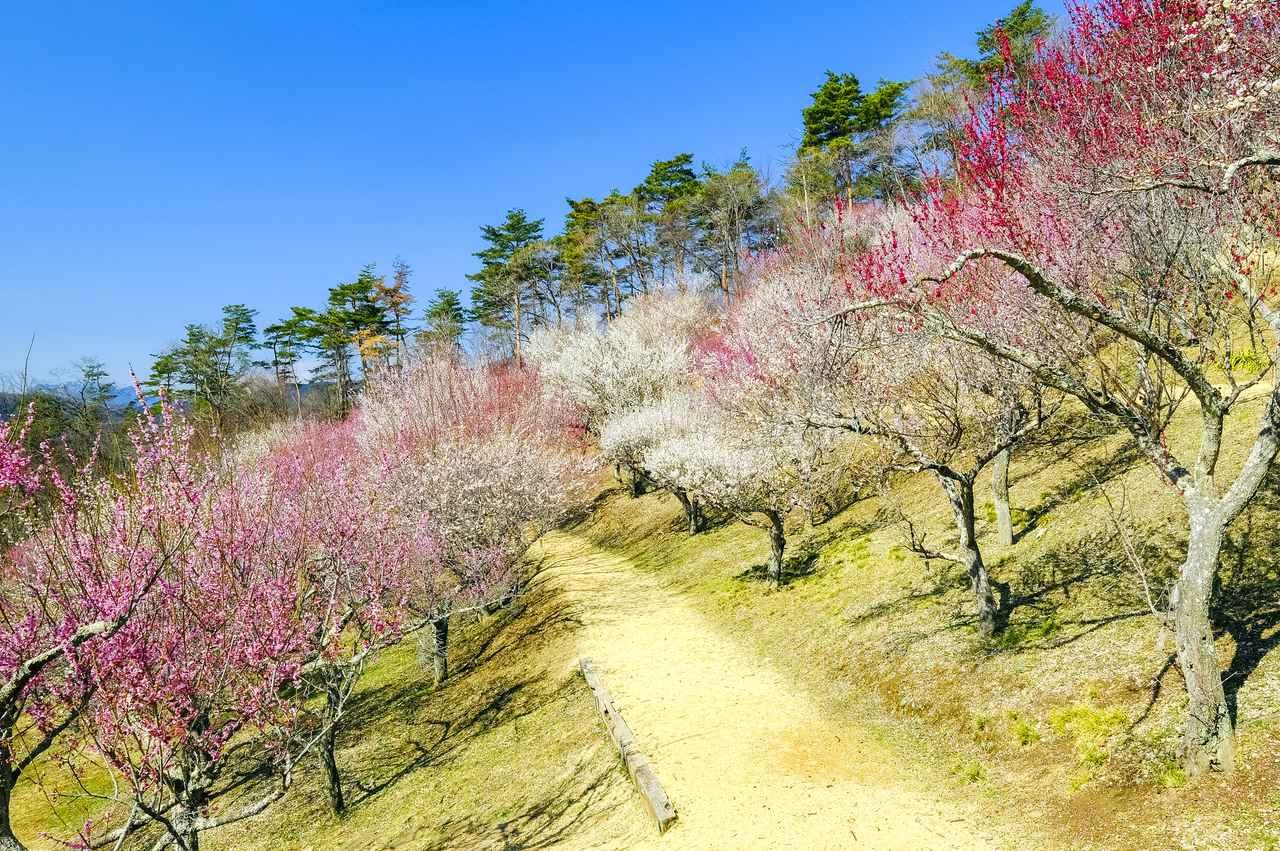 画像: 春には梅の花が咲きます