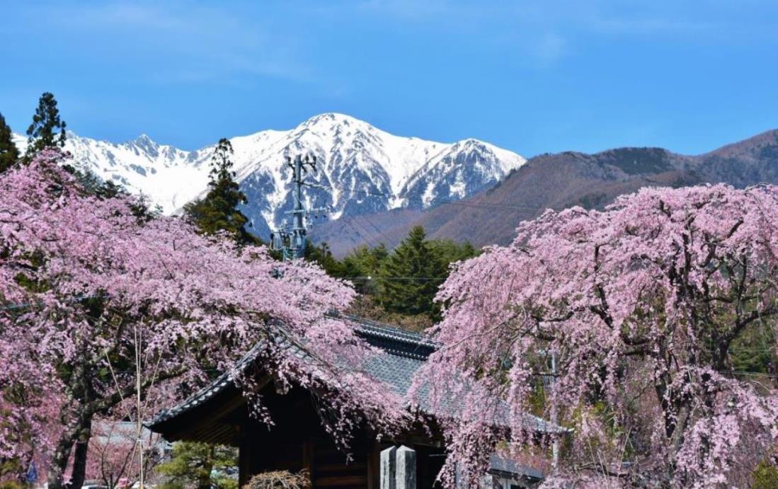 画像: 桜と残雪の中央アルプス 駒ヶ根高原のさくらウォーク|クラブツーリズム