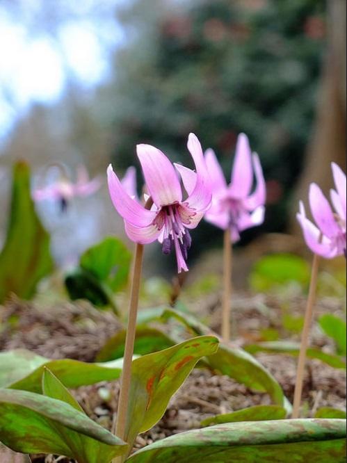 画像: カタクリの花