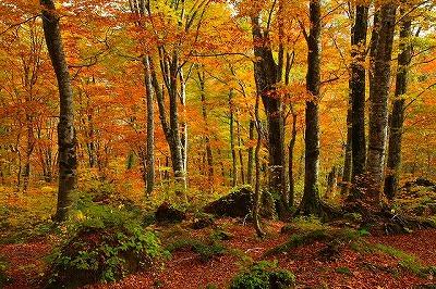 画像: 白神山地のブナ林(イメージ)