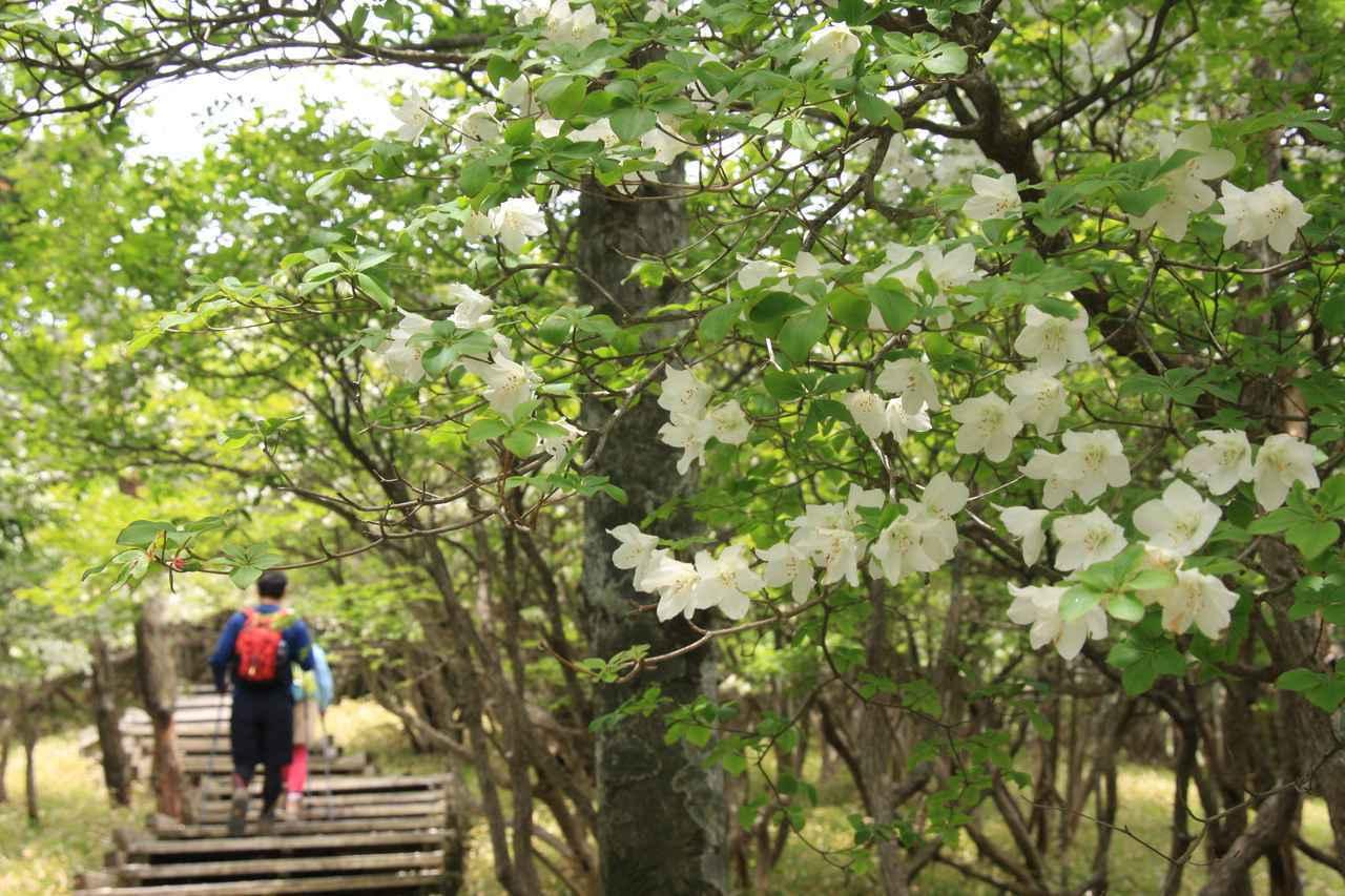 画像: 丹沢に咲くシロヤシオ