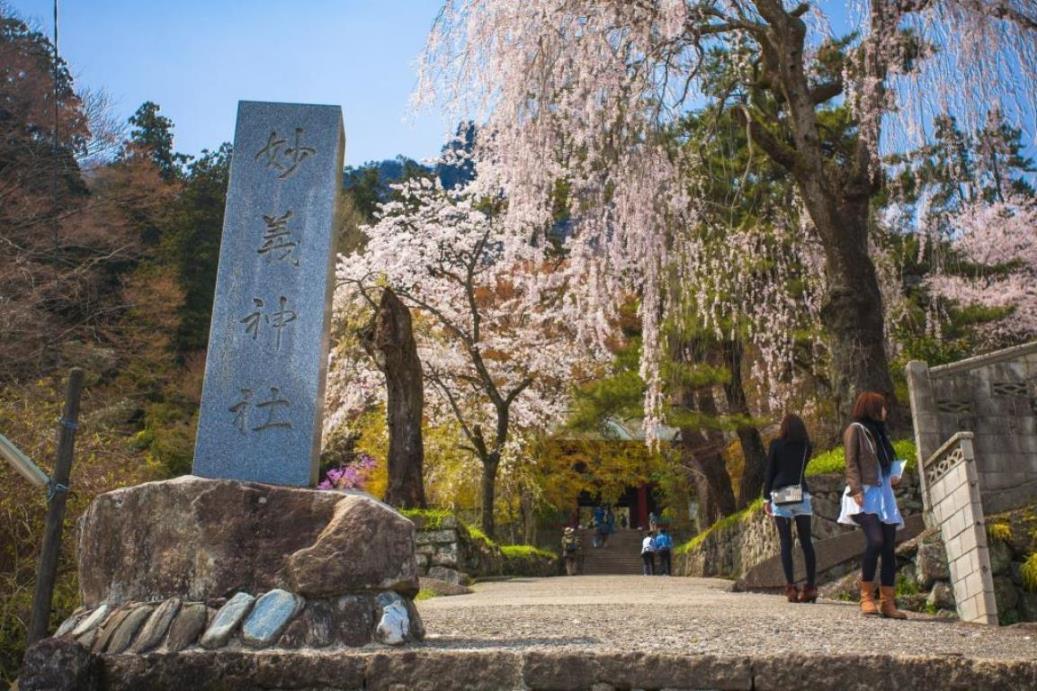 画像: 妙義神社参道のシダレザクラ