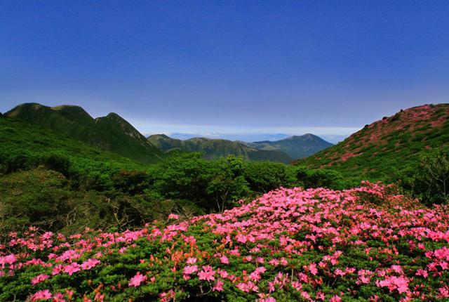 画像: ミヤマキリシマ咲く久重連山