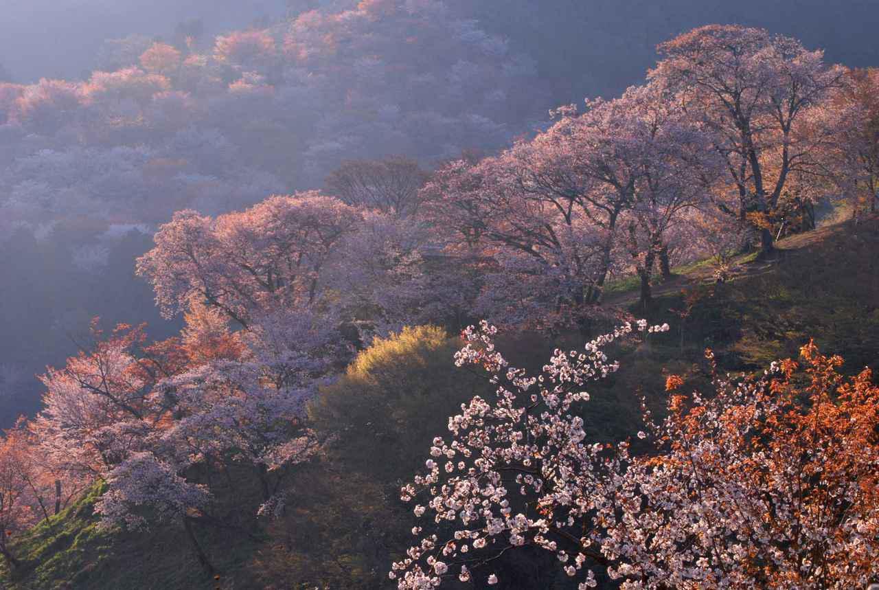 画像2: 桜