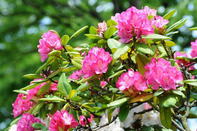 画像: シャクナゲの花