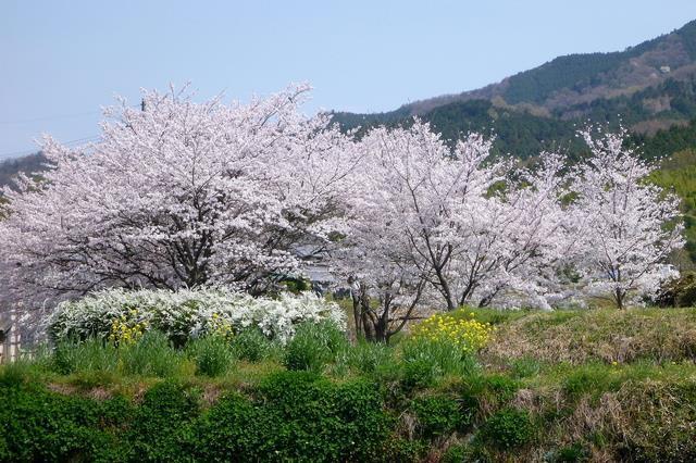 画像: 山の辺の道(イメージ・例年の見頃は4月上旬)