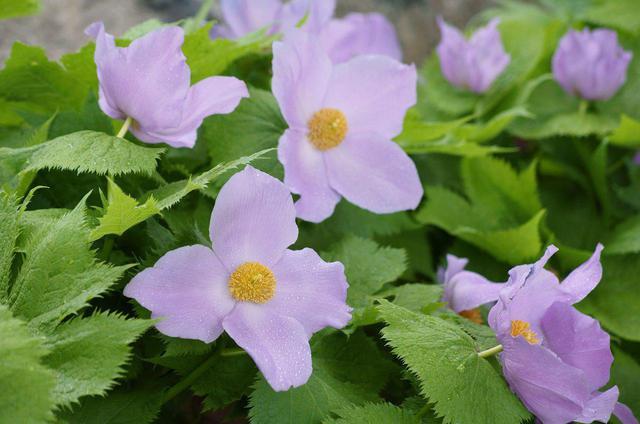 画像: シラネアオイ(花の見ごろは例年5月中旬~6月上旬)