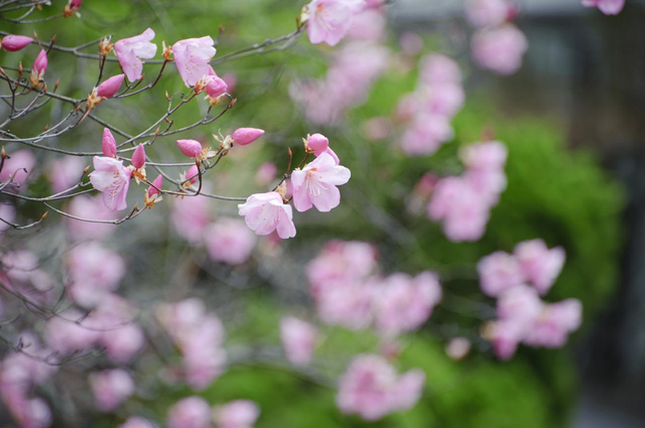 画像: アカヤシオの花と新緑
