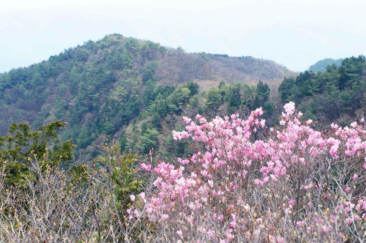 画像: アカヤシオ(見頃:4月下旬から5月上旬)咲く鳴神山