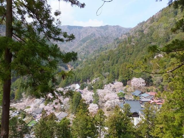 画像: 身延山登山道から桜の景色