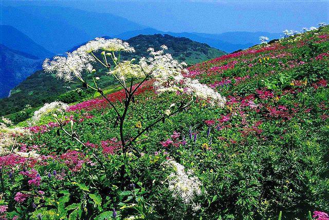 画像1: 花咲く伊吹山